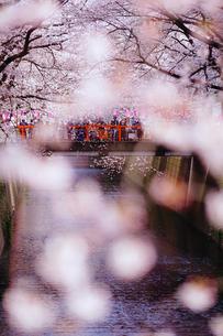 目黒川の桜の写真素材 [FYI01813065]