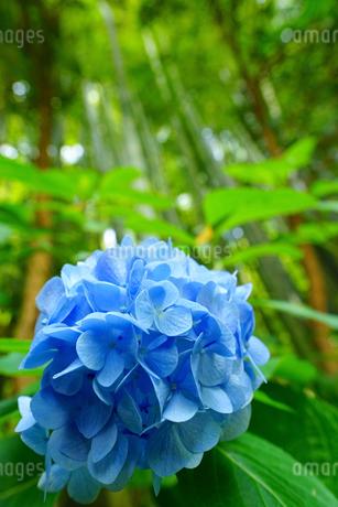 鎌倉報国寺に咲く紫陽花と竹林の写真素材 [FYI01813067]