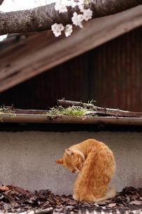 尾道の桜と猫の写真素材 [FYI01813082]