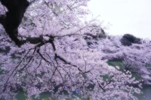千鳥ヶ淵の桜の写真素材 [FYI01813090]