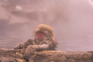 野猿公苑の日本猿の写真素材 [FYI01813091]