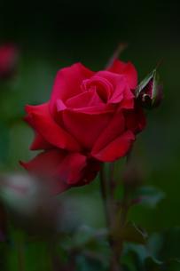 真紅の薔薇の写真素材 [FYI01813120]