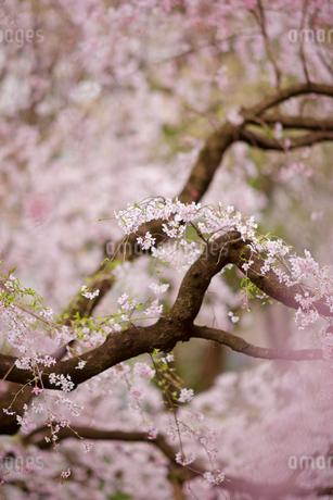 六義園の枝垂れ桜の写真素材 [FYI01813123]