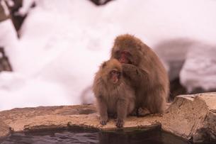 野猿公苑の日本猿の写真素材 [FYI01813140]