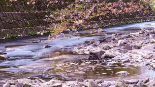 川の流れと散る桜の写真素材 [FYI01813155]