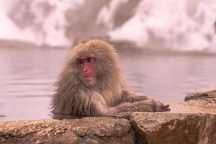 野猿公苑の日本猿の写真素材 [FYI01813175]