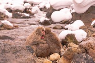 野猿公苑の日本猿の写真素材 [FYI01813178]