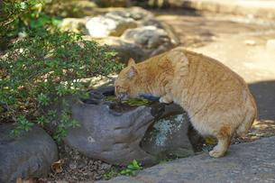 溜まり水を飲む猫の写真素材 [FYI01813191]