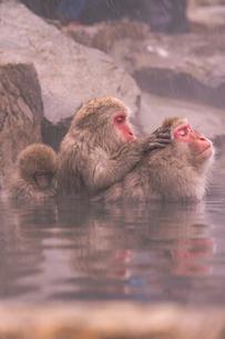 野猿公苑の日本猿の写真素材 [FYI01813205]