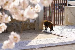 桜と猫の写真素材 [FYI01813206]
