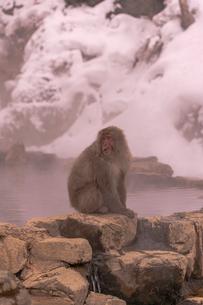 野猿公苑の日本猿の写真素材 [FYI01813220]