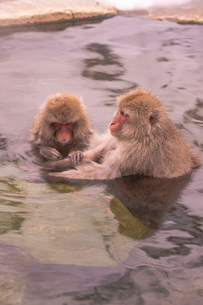 野猿公苑の日本猿の写真素材 [FYI01813224]