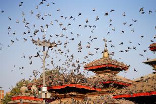 カトマンズ ジャガナート寺院と鳩の写真素材 [FYI01813251]