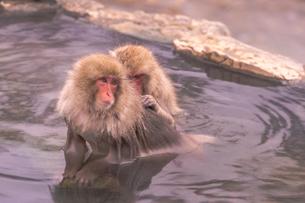 野猿公苑の日本猿の写真素材 [FYI01813259]