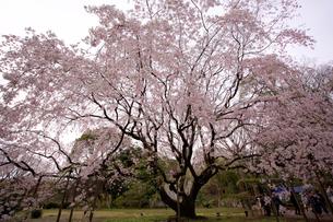 六義園の枝垂れ桜の写真素材 [FYI01813280]