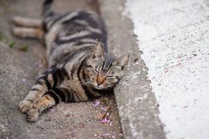 尾道の居眠り猫の写真素材 [FYI01813305]