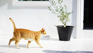 ミコノス島のネコの写真素材 [FYI01813337]