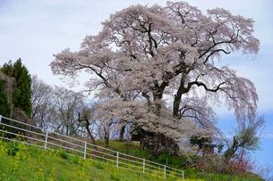 天神夫婦桜の写真素材 [FYI01813374]