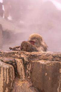 野猿公苑の日本猿の写真素材 [FYI01813376]