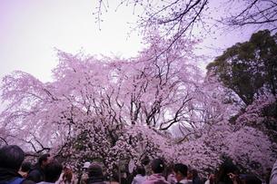 六義園の桜の写真素材 [FYI01813391]