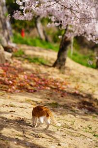 猫と桜の写真素材 [FYI01813404]