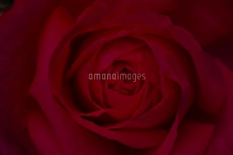 真っ赤なバラの写真素材 [FYI01813411]