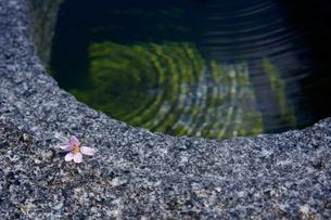 手水鉢と一輪の桜の写真素材 [FYI01813443]