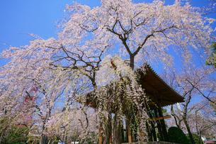 増上寺の枝垂れ桜の写真素材 [FYI01813454]