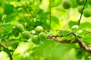 旧芝離宮恩賜庭園の梅の実の写真素材 [FYI01813461]