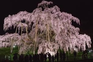 三春の滝桜ライトアップの写真素材 [FYI01813462]