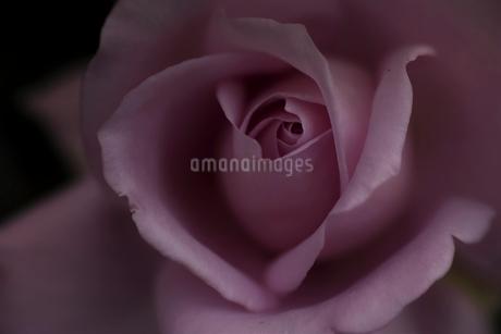 シックに咲くバラの写真素材 [FYI01813467]