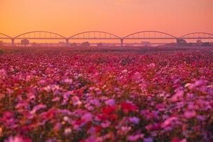 夕日を浴びたコスモス畑の写真素材 [FYI01813470]