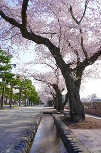 十和田 駒通りの桜並木の写真素材 [FYI01813501]