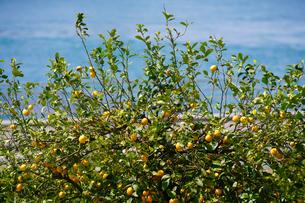 瀬戸田のレモンの写真素材 [FYI01813517]