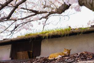 尾道の桜と猫の写真素材 [FYI01813522]