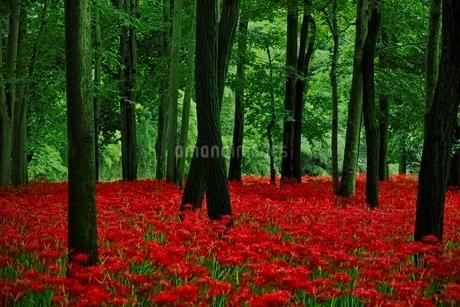 満開に咲く巾着田の彼岸花の写真素材 [FYI01813524]