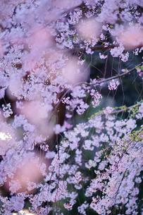 六義園の枝垂れ桜の写真素材 [FYI01813528]