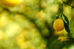 瀬戸田のレモンの写真素材 [FYI01813542]