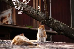 千光寺公園の桜と猫の写真素材 [FYI01813552]