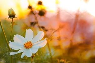 夕日をあびたコスモスの花の写真素材 [FYI01813554]