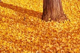 一面のイチョウの葉の写真素材 [FYI01813601]