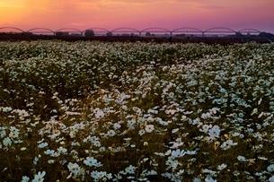 夕日を浴びたコスモス畑の写真素材 [FYI01813657]