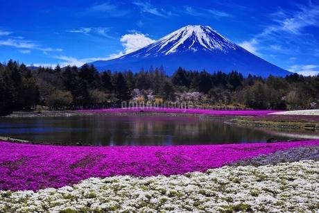 満開の芝桜と富士山の写真素材 [FYI01813691]