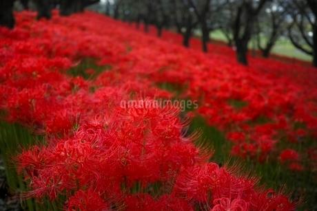 満開に咲く権現堂堤の彼岸花の写真素材 [FYI01813712]