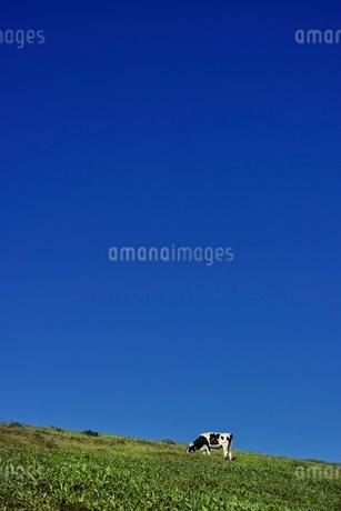 青空の下で草を食む乳牛の写真素材 [FYI01813750]