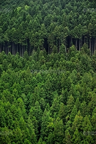 整然と植えられた杉林の写真素材 [FYI01813752]