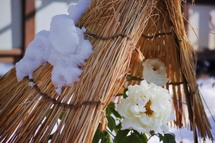 雪の日の冬牡丹の写真素材 [FYI01813757]