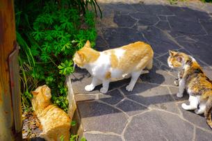 広島尾道の猫の写真素材 [FYI01813761]