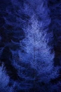 霧氷のついたカラマツの写真素材 [FYI01813764]