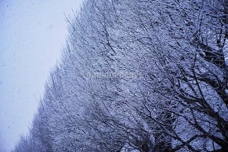 雪が積もった銀杏並木の写真素材 [FYI01813788]